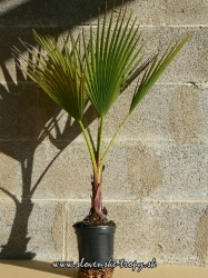 washingtonia_robusta_2.JPG