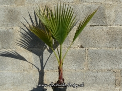 washingtonia_robusta_km_10_15cm_v_100cm.JPG